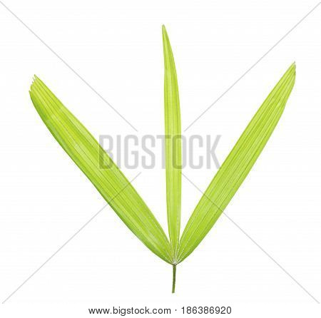 Palm Leaf Isolated On White Background