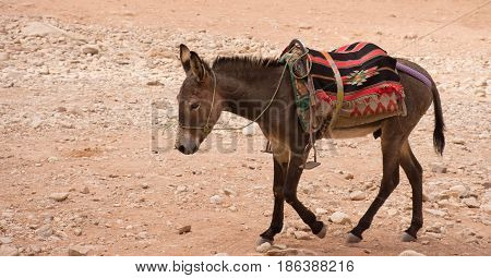 Donkey walking through sand in Petra Jordan. The donkey is used to transport tourists through the ancient Nabatean city. He wears a bridle, blanket and saddle and is seen in profile.