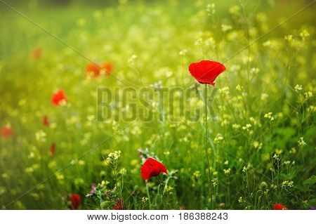 Beautiful close up in poppy field and sun. Spring summer nature background concept. Inspirational and relaxing flowers nature background. Soft focus, bokeh background.