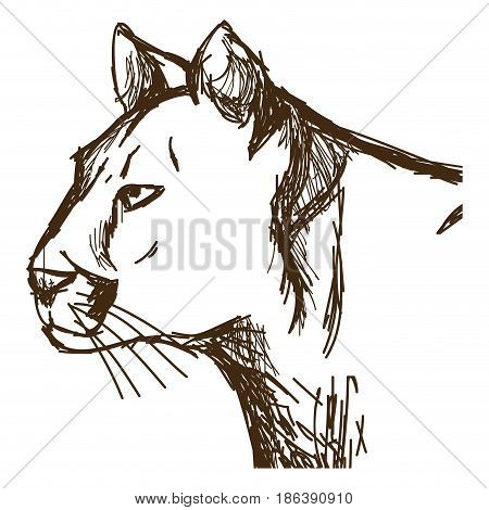 hand drawn cougar or mountain lion. portrait animal sketch wildlife vector illustration