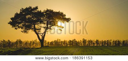 A lonely pine stands in the middle of the field and is lit by golden sunlight.
