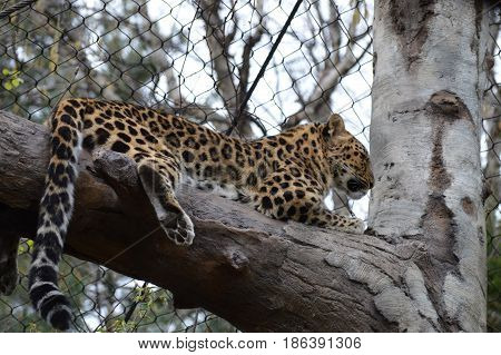 An Amur leopard on a tree branch