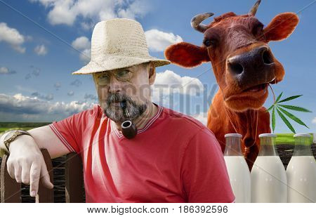 Farmer with a smoking pipe in a pince-nez and a cow on a green meadow background. Farm products-milk.Cheerful cow with merry milk