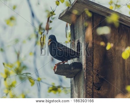 Birds - Common starling looks out of a nest box.
