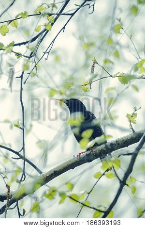 Starling sitting on a birch branch in early spring