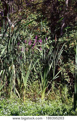 Common cattails or bulrushes (Typha latifolia) in the Fourth Street Swamp in Harbor Springs, Michigan, during August.