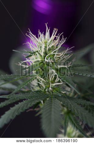 Close up macro of young marijuana cannabis flower