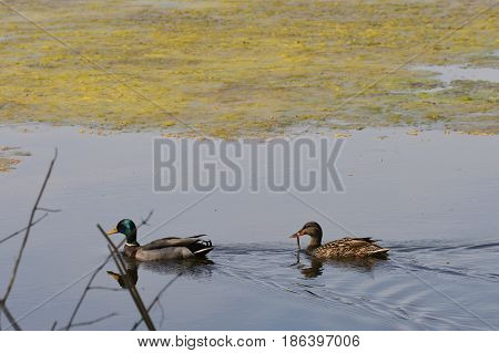 A pair of mallard ducks at the lake
