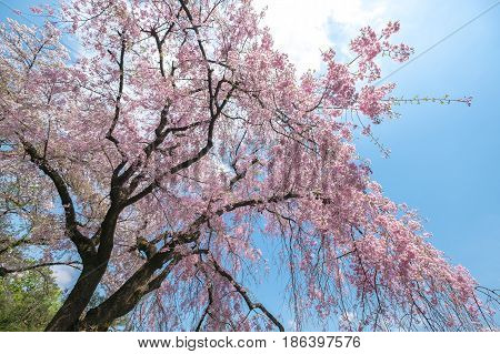 Spring Cherry blossoms pink flower with blue sky