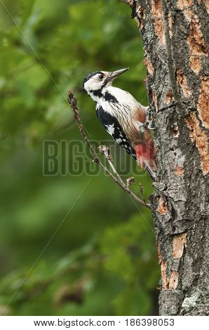 White-backed Woodpecker looking for food on pine tree