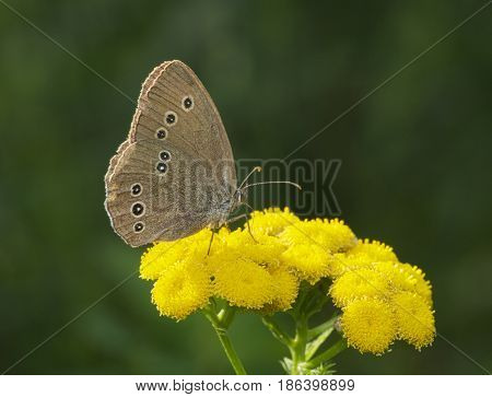 Spotted Brown Butterfly