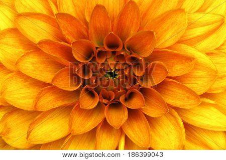 Orange dahlia petals macro, floral abstract background.