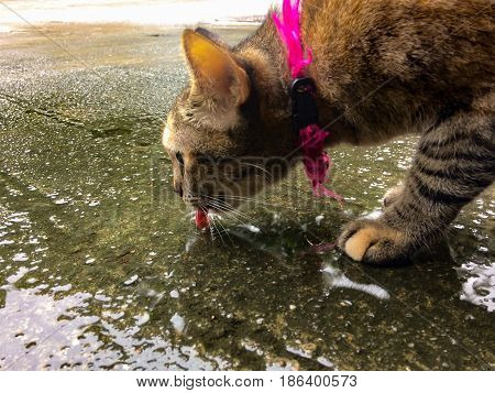 Mackerel Tabby Brown black stripes cat drinking water by using tongue sucking water from the floor