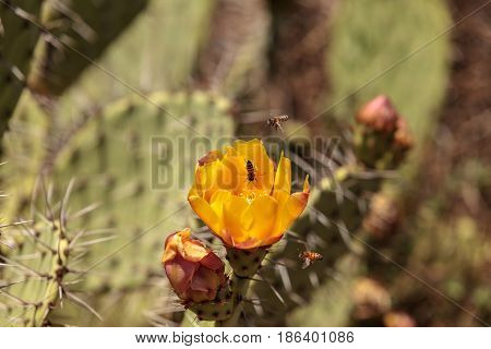 Honeybee Apis mellifera gathers pollen from the yellow flower on a prickly pear cactus Opuntia ficus indica along a wilderness hiking trail in Laguna Beach California.
