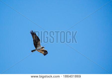 Osprey hawk (Pandion haiaetus) flying underneath a blue sky in Wisconsin