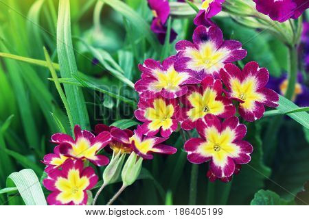 Perennial primrose or primula in the spring garden. Spring primroses flowers, primula polyanthus. The beautiful pink colors primrose flowers garden.