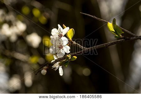 Spring brings the branches of the trees to flowering. Small delicate white flowers in the spring sun