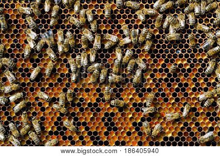 Bees natural beebread in honeycombs ambrosia apitherapy nutritional