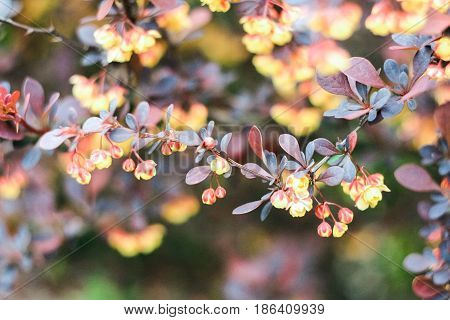 Bush with yellow, brown and burgundy leaves on a brown background