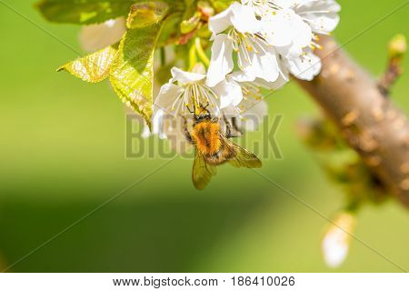 Close up of a bumble-bee pollinate cherry flowers in a tree in sunny day