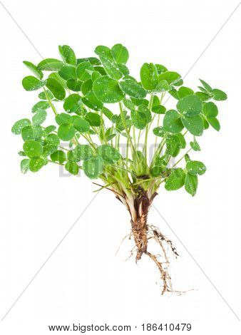 Young clover