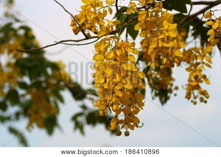 Cassia fistula or Dok koon, this beautiful yellow flower is the national flower of Thailand.