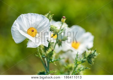 White Prickly Poppy (Argemone albiflora) wildflowers blooming in spring