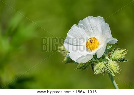 White Prickly Poppy (Argemone albiflora) wildflower blooming in spring. Natural green background with copy space.