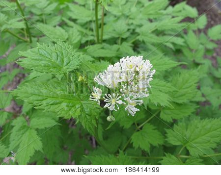 Eurasian baneberry with leaves and flower, Actaea spicata