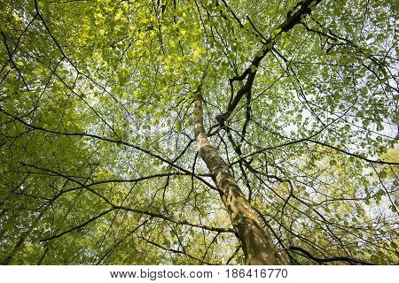 Beautiful springtime beech tree in a Danish forest.