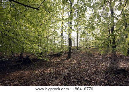 Beautiful early horizontal Danish springtime beech forest.