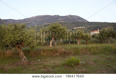 warm late sunlight on old olive trees in landscape with house and mountains on peloponnese in greece in spring