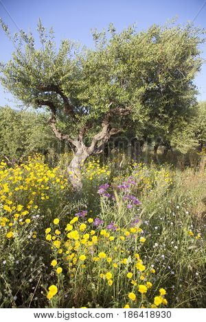 olive trees and yellow flowers near stoupa in mani on greek peloponnese under blue sky in spring