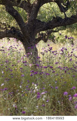 olive trees and purple thistle flowers near stoupa in mani on greek peloponnese in backlight