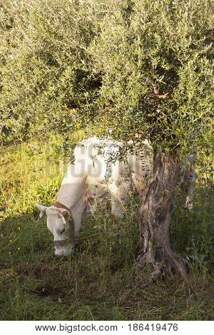 white cow grazes under olive tree with blue sea in the background in Mani on greek peloponnese