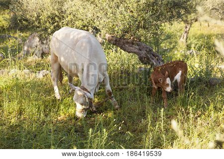 cow and calf between olive trees with blue sea in the background in Mani on greek peloponnese