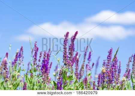 Field of wild violet flowers against blue sky in summer.