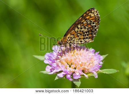 Queen of Spain Fritillary (Issoria lathonia) butterfly sucking nectar from a flower.