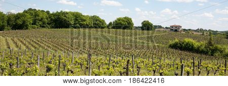 Landscape On The Vines Near Bordeaux In France