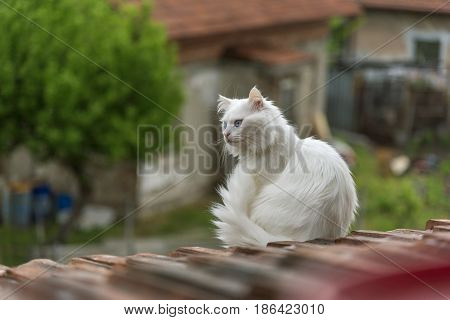 beautiful white cat on the roof is looking down