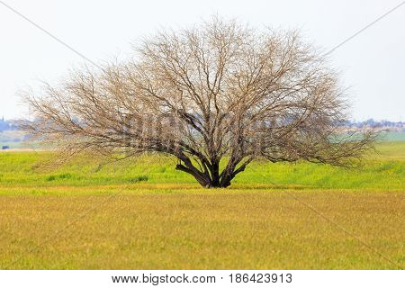 Single light bare tree in a meadow