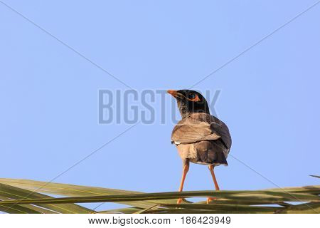 Mynah Is Standing On Palm Tree