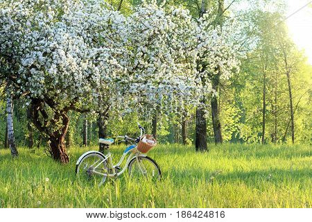 bicycle with a book a bottle and pastries in a basket under a flowering fruit tree in the park / spring picnic at sunset