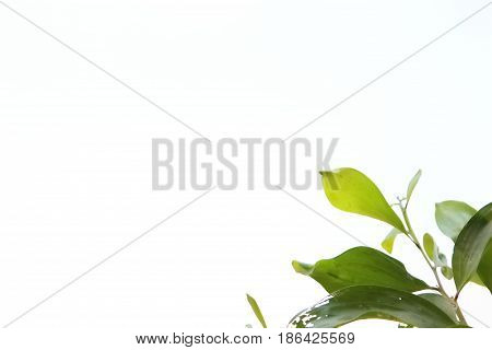 Beautiful green leaves on a white background.