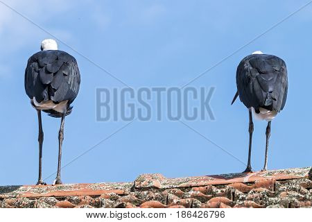 Two Woolly Necked Stork Against Blue Cloudy Sky