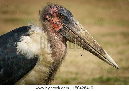 Closeup view of Marabou stork and beak, ugly bird