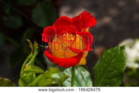 Beautiful enchanted bi-colored rose red and yellow