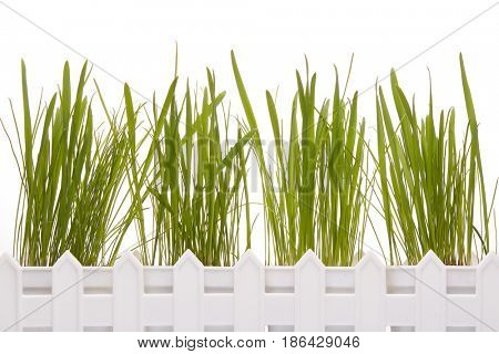 White box for seedling with young green sprouts of oats  on a white background. Concept of spring gardening.