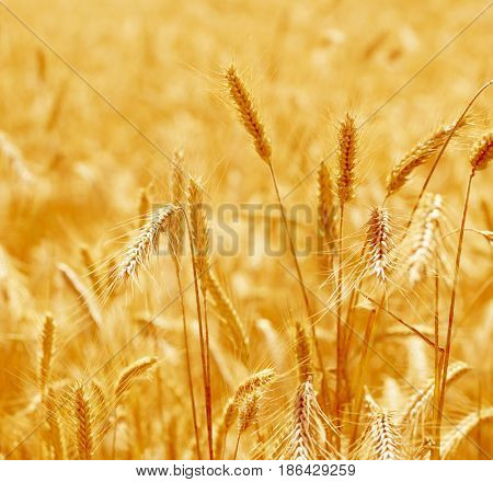 Close up of ripe wheat ears. Beautiful backdrop of ripening ears of golden field. Nature background and  blurred bokeh.