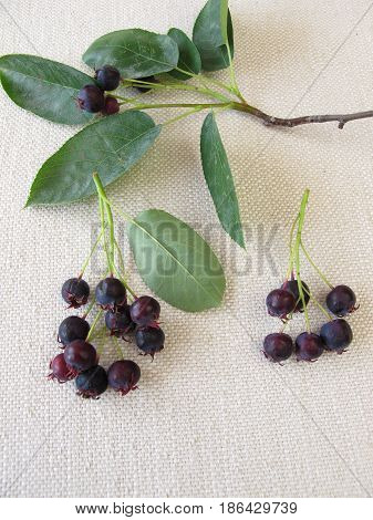 A twig with ripe juneberries and leaves